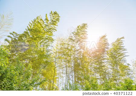 신록의 대나무 40371122