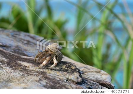 Hermit crab 40372772