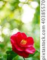 山茶花 日本山茶 花朵 40385570