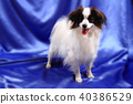 papillon dog young lady 40386529