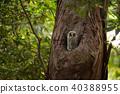 野生鳥類 野鳥 貓頭鷹 40388955