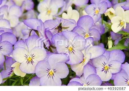 예쁘게 피어난 비올라 꽃 40392087