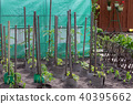 Tomato plant growing in the soil 40395662