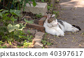 Cat sleeping on path in garden 40397617