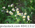 봄망초, 꽃, 플라워 40411312