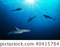 Group of sharks hunting smalls fish 40415764