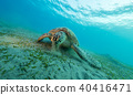 Hawksbill turtle eating sea grass from sandy bottom 40416471