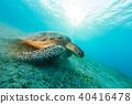 Hawksbill turtle eating sea grass from sandy bottom 40416478