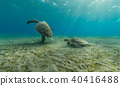 Hawksbill turtles playing together on sandy sea bottom 40416488