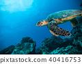 Hawksbill Sea Turtle in Indian ocean 40416753