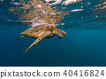 Hawksbill turtle trying to breath. 40416824