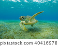 Hawksbill turtle eating sea grass from sandy bottom 40416978