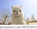 alpaca, animal, animals 40425643