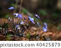 Flower Hepatica nobilis in the woods 40425879