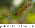 มด,สะพาน,แมลง 40426037