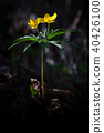 Flower Ranunculus ranunculoides 40426100