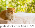 scottish fold cat, beautiful kitten 40430221