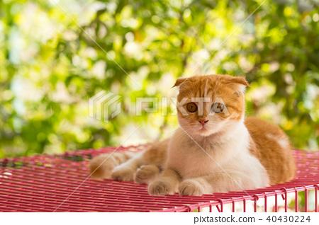 scottish fold cat, beautiful kitten 40430224
