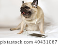 Purebred pug dog in headphones laying in bed 40431067