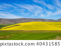 Rapeseed fields along the road to Franschhoek 40431585