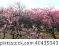 field, plum grove, bloom 40435343