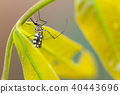 Aedes aegypti Mosquito. Close up Mosquito on leaf 40443696
