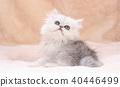 ลูกแมว 40446499