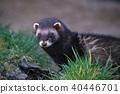 European Polecat (mustela putorius) 40446701