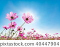 Cosmos and blue sky 40447904