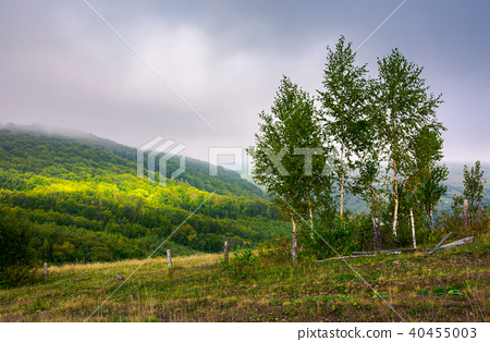 birch trees on a hillside in autumn 40455003
