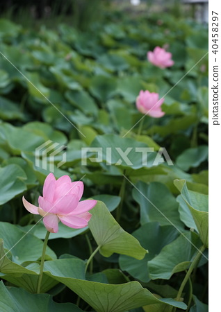 Lotus flower 40458297