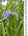 멸종 위기 Ⅰ 류 가지 히 오우기 붓꽃 40459696