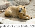 흰곰, 북극곰, 동물 40460220
