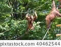 오랑우탄 (Orangutans) 40462544
