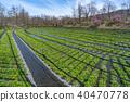 초봄의 대왕 와사비 농장 나가노 현 아즈미노시 40470778