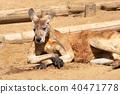 袋鼠 動物 有袋類動物 40471778