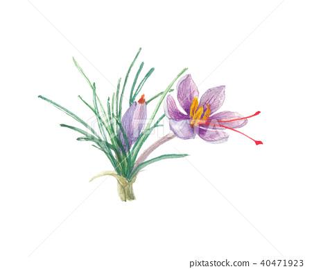 saffron, safran, blossom 40471923