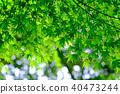 Green maple leaf (backlight) 40473244