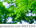 Green maple leaf (backlight) 40473245