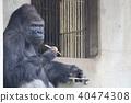 動物園 大猩猩 動物 40474308