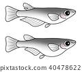 ปลาคิลลี่,ปลา,ปลาน้ำจืด 40478622