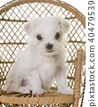 puppy maltese dog 40479539