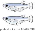 killifish, fish, fishes 40482290
