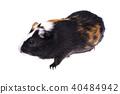 Home guinea pig on white 40484942