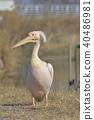 pelican, pelicans, bird 40486981