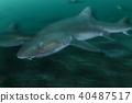 상어, 물고기, 생선 40487517