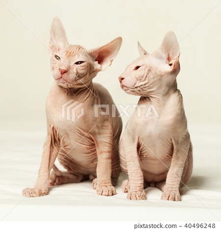 Kittens don sphynx on white background 40496248