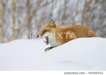 北狐 40496562