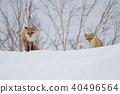 北狐 40496564