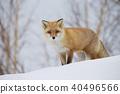 北狐 40496566